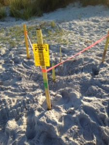 Turtle nests relocated due to beach work