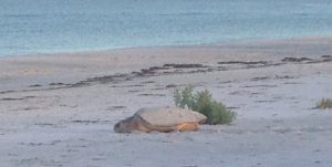 Turtle hatchlings continue to defeat red tide