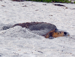 Green sea turtles have superb nesting season on the island