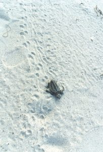 Activity slowing down for island nesting turtles and their babes