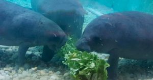 South Florida Museum redoubles manatee rehab efforts