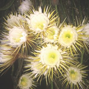 Queen of the Night: Now pay attention, this is cereus