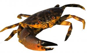 As stone crab season begins many wonder … are those crabs safe to eat?