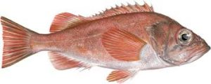 CCA Florida releases 10,000 redfish in Southwest Florida waters