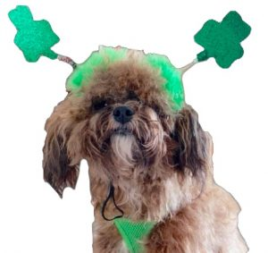 Be ye Irish or otherwise … Come to the  dog show!