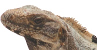 The case of the FWC and the iguana bloodlust