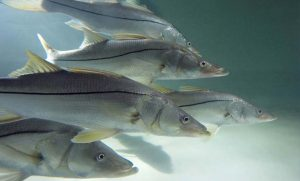 'Coffee with a Scientist' features Dr. Locascio and snook recovery