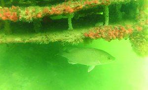Mote Marine Laboratory 'living docks' thriving in Boca Grande Canals