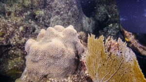 Mote Marine documents another first for corals in Florida