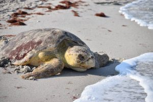 What to do with a 300-pound deceased sea turtle